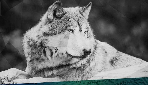 ...забежал в Бежицу волк
