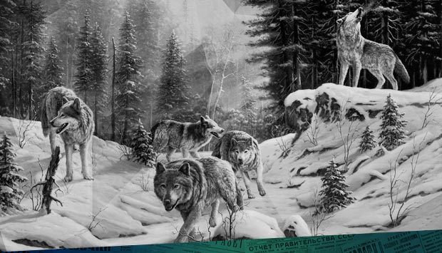 Нам пишут из уезда, что волки продолжают беспокоить...