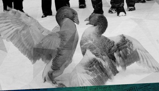 С наступлением весны на наших окраинах начинаются… // Орловский вестник. – 1900. – 17 (4) март. (№61): гусиные бои - о том, как развлекались жители Брянска 120 лет тому назад